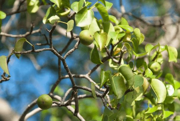 Peme e rrezikshme